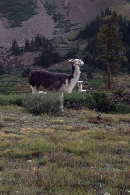 Alpacas are used to transport aid station provisions near the top of Hope Pass.  An odd and much anticipated sight, though the uniqueness of the experience is somewhat lost on the 1000 or so hypoxic racers.  Photo: Andres Capra